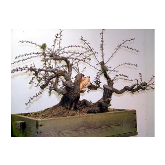 English Hawthorn Bonsai Peter