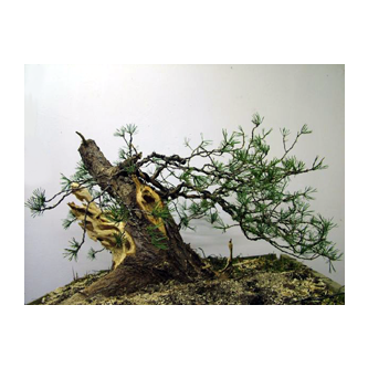 Scots Pine Bonsai Kevin Willson