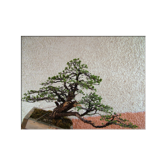 Kevin Willson Scots Pine Bonsai Rafa