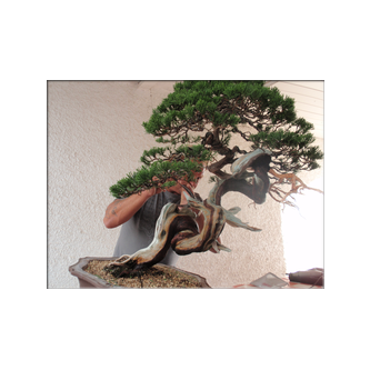 Kevin Willson Juniper Bonsai Juan