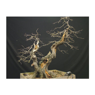 Kevin Willson Hawthorn Bonsai Curly