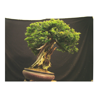Japanese Yew Bonsai Warren