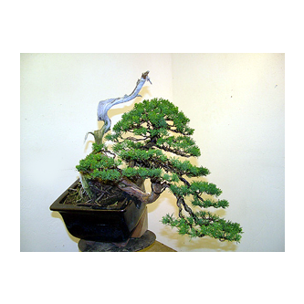 Kevin Willson - Juniper Bonsai Tony