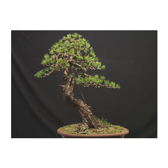 Kevin Willson Pine Bonsai Tony