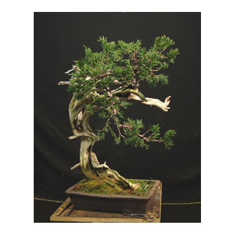 Kevin Willson Sabina Bonsai Warren