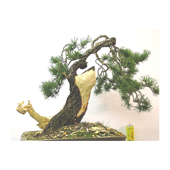 Kevin Willson Scots Pine Bonsai Dave