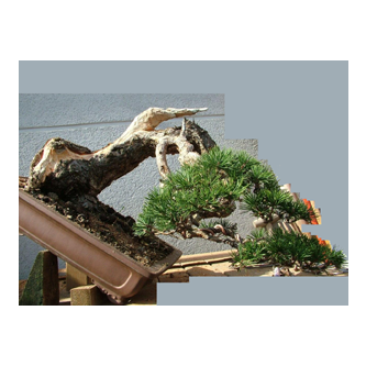 Kevin Willson Scots Pine Bonsai Ruben