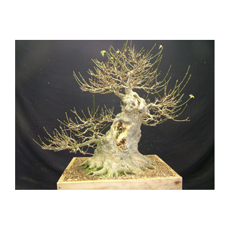 Kevin Willson Trident Maple Bonsai Curly