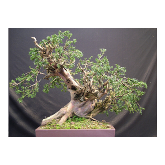 English Yew Bonsai Tracy