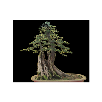 English Yew Bonsai Bill