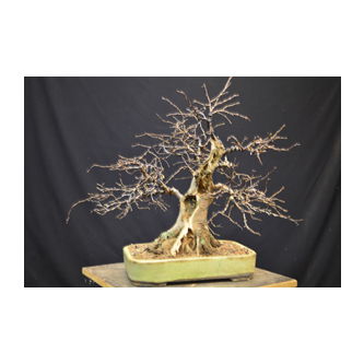 Micks Hornbeam Bonsai