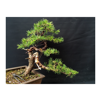 Kevin Willson Geneva Bonsai Workshop